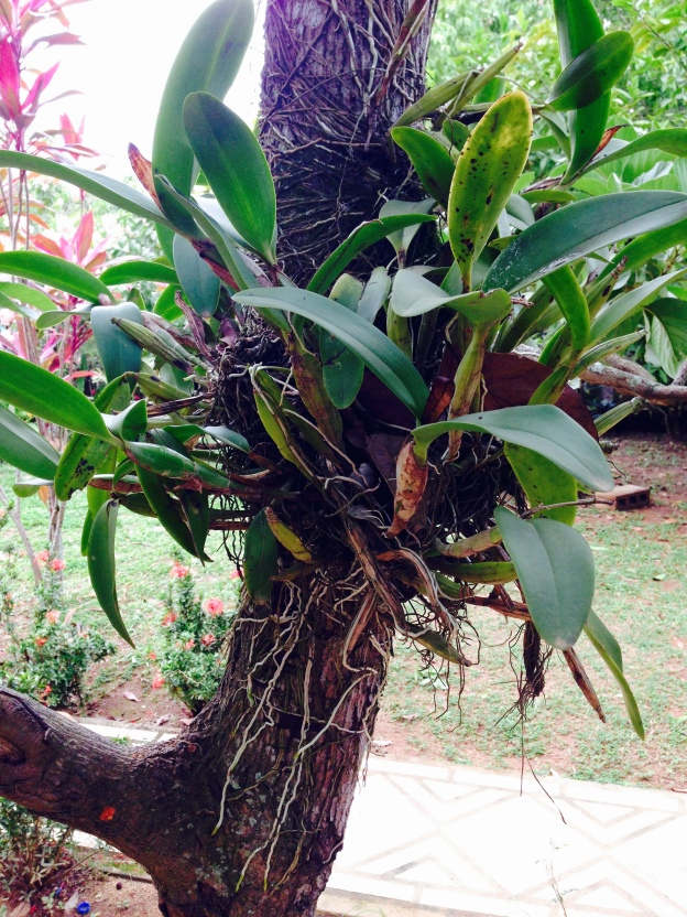 We saw this plant clinging to an avocado tree. know what it is? who guessed orchid?