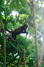 Monkey in our backyard